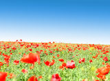 Poppy flowers against the blue sky Royalty Free Stock Photos