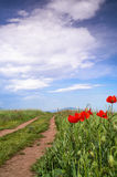 Poppy flowers against blue sky. Poppy flowers next to a road in a field Stock Image