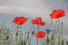Poppy flowers against the blue sky Stock Images