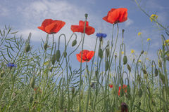Poppy flowers against the blue sky Stock Images