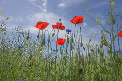 Poppy flowers against the blue sky Stock Photos
