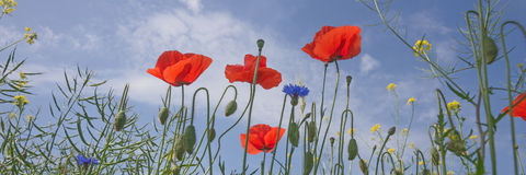 Poppy flowers against the blue sky Stock Photography