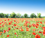 Poppy flowers against the blue sky and trees Royalty Free Stock Photo