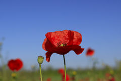 Poppy flowers against a green background. Beautiful poppy flowers surrounded by green grass and blue sky Royalty Free Stock Images