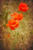 Poppy flowers on antique grunge texture background Stock Photos
