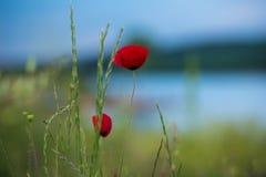 Poppy flower in green field in spring stock images