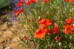 Poppy flowers. Background. stock image