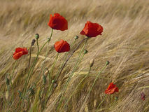 Poppy flowers and barley Stock Photos