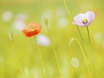 Poppy flowers. Beautiful poppy flower on field Stock Photo