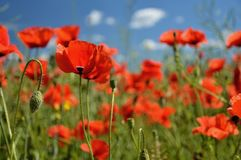 Poppy flowers. Beautiful summer poppy flowers with red petals. Blooming plants at sunset. Poppy field Stock Photo