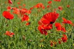 Poppy flowers. Beautiful summer poppy flowers with red petals. Blooming plants at sunset. Poppy field Stock Photography