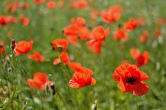 Poppy flowers. Beautiful summer poppy flowers with red petals. Blooming plants at sunset. Poppy field Stock Image