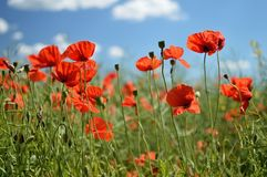 Poppy flowers. Beautiful summer poppy flowers with red petals. Blooming plants at sunset. Poppy field Stock Photos