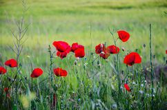 Poppy flowers. Beautiful sunny day  in mountain landscape with Poppy flowers blie and green grass on the field Stock Photography