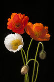 Poppy flowers on black. Red, orange and white poppy flowers with buds on black background Stock Photo