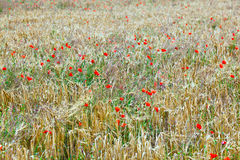 Poppy flowers with ble sky Stock Images