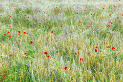 Poppy flowers with ble sky Stock Photos