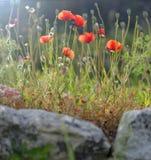 Poppy flowers in bloom Stock Photo