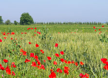 Poppy flowers blooming in a field Royalty Free Stock Photo