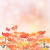 Poppy Flowers Blossom Stock Image