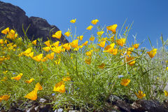Poppy flowers blossoming in spring in desert at Picacho Peak State Park north of Tucson, AZ Royalty Free Stock Image
