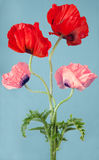 Poppy flowers on a blue background Royalty Free Stock Images