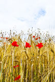 Poppy flowers with blue sky and clouds Stock Photos