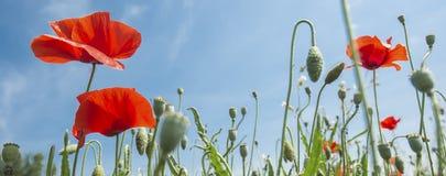 Poppy-Flowers-Blue Sky Royalty Free Stock Photos