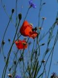 Poppy flowers blue sky Stock Photos