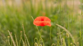 Poppy flower. S on blurred green nature background. banner for websites Stock Photos