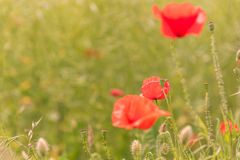 Poppy flowers field. Poppy flowers on blurred nature background. copy space Royalty Free Stock Photos