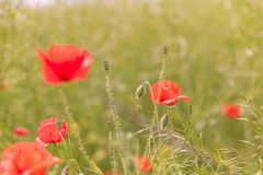 Poppy flowers wallpaper Royalty Free Stock Photo