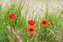 Poppy flowers wallpaper Stock Photography