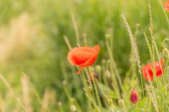 Poppy flowers on blurred nature background. Poppy flowers on blurred green nature background. with copy space Stock Photography