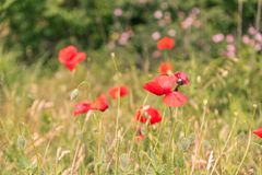 Poppy flowers field. Poppy flowers on blurred nature background Royalty Free Stock Photo