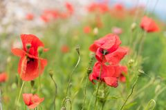 Poppy flowers bokeh Stock Photos