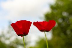 Two poppies on a blurred background. royalty free stock image