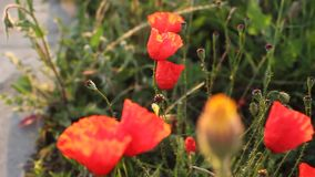 Poppy flowers and bud Stock Photo