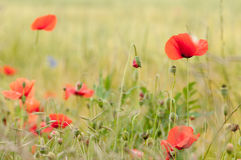 Poppy flowers, buds and pods Royalty Free Stock Photo