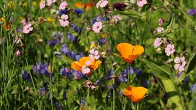 Poppy flowers stock video