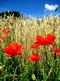 Poppy,a beautiful poppy in a field stock images