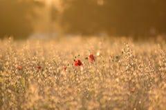 Poppy flowers between cereal plants stock photos