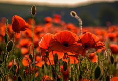 Poppy flowers close up in the field. Beautiful summer background Stock Photography