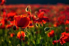 Poppy flowers close up in the field. Beautiful summer background Royalty Free Stock Photos