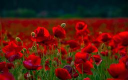 Poppy flowers close up in the field. Beautiful summer background royalty free stock photo