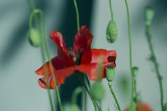 Close up poppy head. red poppy.Red poppy flowers field. Papaver stock images