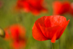 Poppy flowers close-up Royalty Free Stock Photos