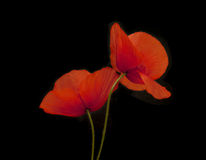 Poppy flowers. Close up of two poppy flowers in front of black background Royalty Free Stock Photos