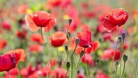 Poppy flowers closeup stock footage