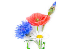 Poppy flowers  and cornflower Royalty Free Stock Photo